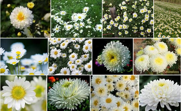 Daisy color meaning